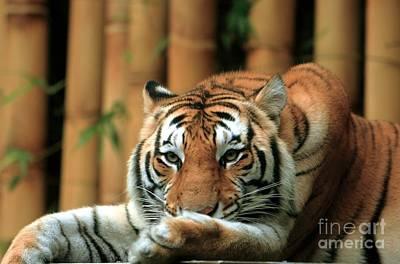 Caravaggio - Asian Tiger 5 by Randy Matthews