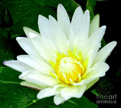 Photograph - Asian Water Lilly by Randall Weidner