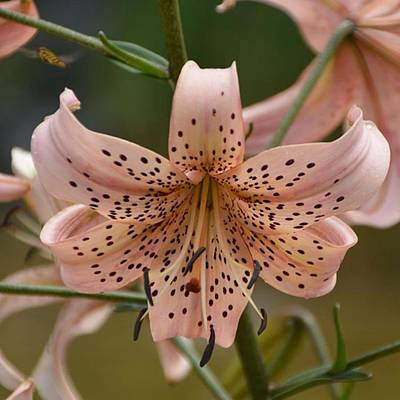 Photograph - Asiatic Lily  by Eve Tamminen