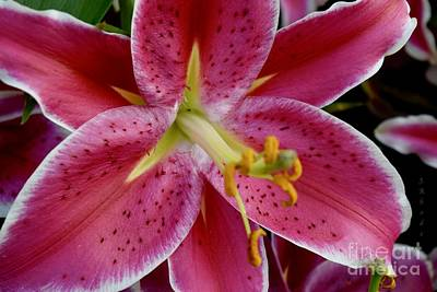 Photograph - Asiatic Lily After Eight by Jeannie Rhode