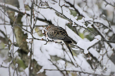 Photograph - Asleep In The Snow - Mourning Dove by Kerri Farley