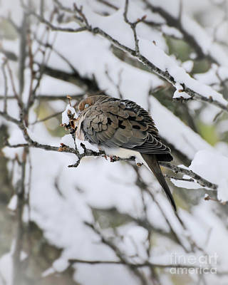 Photograph - Asleep In The Snow - Mourning Dove Portrait by Kerri Farley