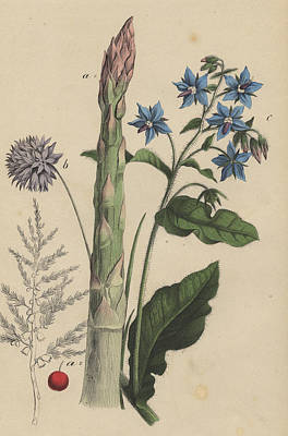Asparagus Drawing - Asparagus And Borage by German Botanical Artist