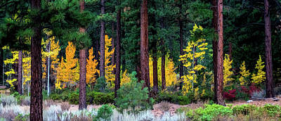 Photograph - Aspen Among Pines by Maria Coulson
