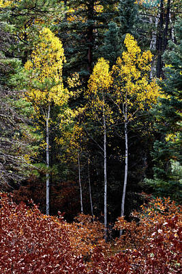 Photograph - Aspen And Gambel Oak by Robert Woodward