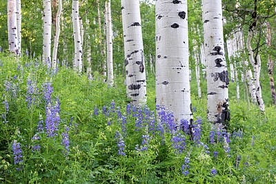 Photograph - Aspen And Lupine by Angela Moyer