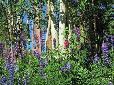 Photograph - Aspen And Lupine by Marilyn Hunt