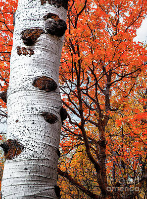 Photograph - Aspen And Maple Trees Large Canvas Art, Canvas Print, Large Art, Large Wall Decor, Home Decor by David Millenheft