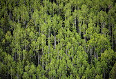 Photograph - Aspen And Pines by Bud Simpson