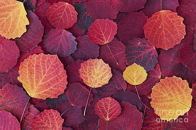 Vivid Fall Colors Photograph - Aspen Autumn by Tim Gainey