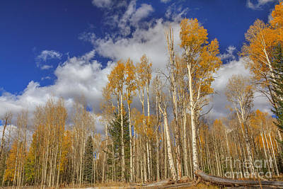 Photograph - Aspen Beauty by Robert Bales