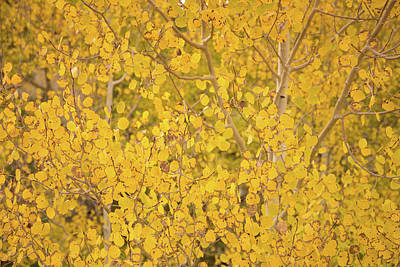 Photograph - Aspen Fall Colors In Utah by Kunal Mehra