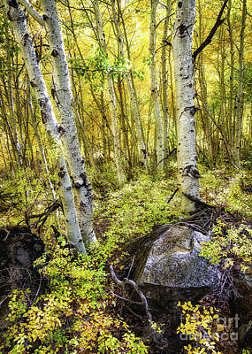 Photograph - Aspen Forest 2 by Anthony Bonafede