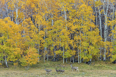 Photograph - Aspen Forest And Deer by Jonathan Nguyen