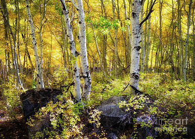 Photograph - Aspen Forest by Anthony Bonafede