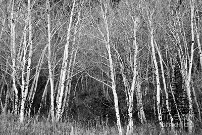 Aspen Forest Black And White Print Art Print