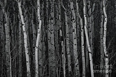 Photograph - Aspen Forest by Brad Allen Fine Art
