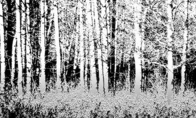 Photograph - Aspen Forest by Charlotte Schafer