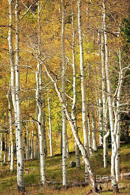 Photograph - Aspen Forest by Doug Sturgess