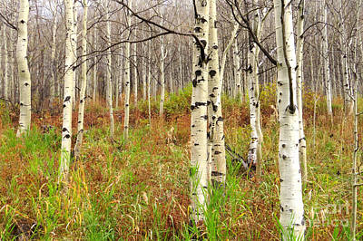 Photograph - Aspen Forest by Frank Townsley