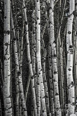 Photograph - Aspen Forest IIi by Brad Allen Fine Art