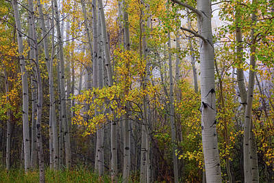 Photograph - Aspen Forest Light by James BO Insogna