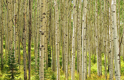Photograph - Aspen Forest by Loree Johnson