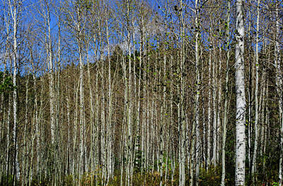 Photograph - Aspen Forest by Tikvah's Hope