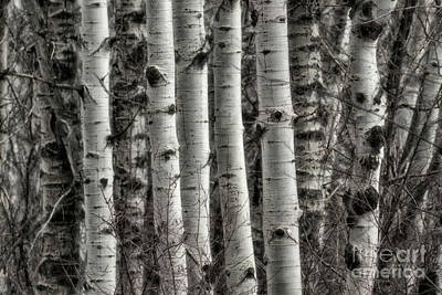 Photograph - Aspen Forest V by Brad Allen Fine Art