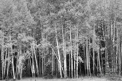 Photograph - Aspen Glen by Pete Hellmann