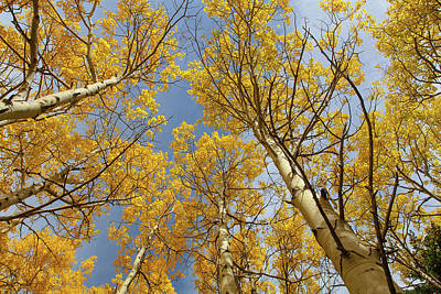 Photograph - Aspen Glory by Jack Bell