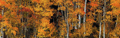 Aspen Glow Panoramic Art Print by Leland D Howard