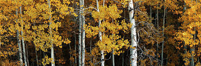 Photograph - Aspen Gold by Dustin LeFevre