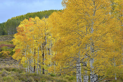Photograph - Aspen Gold Galore On Last Dollar Road by Ray Mathis
