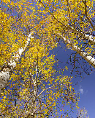Photograph - Aspen Gold by Jack Bell