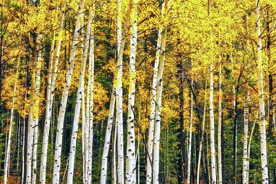 Photograph - Aspen Gold by Rick Furmanek