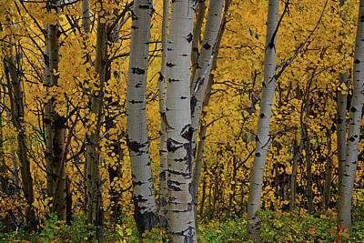 Aspen Golden Art Print
