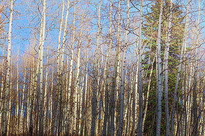 Photograph - Aspen Grove -1 by OLena Art Brand