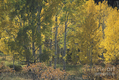 Photograph - Aspen Grove Above Arches by Stan and Anne Foster
