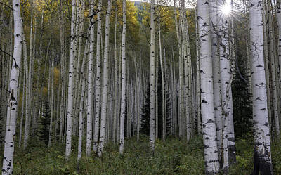 Colorado Aspens Art Print