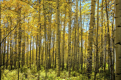 Photograph - Aspen Grove by Bud Simpson