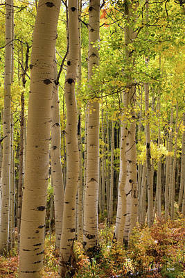 Photograph - Aspen Grove by Dana Sohr