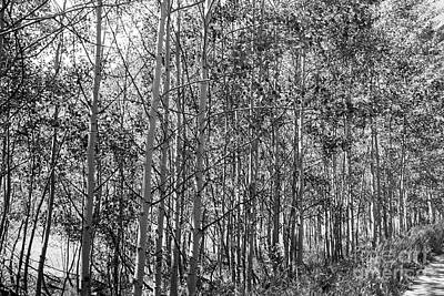 Photograph - Aspen Grove by David Bearden