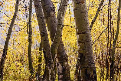 Photograph - Aspen Grove In Autumn Rain by Vishwanath Bhat