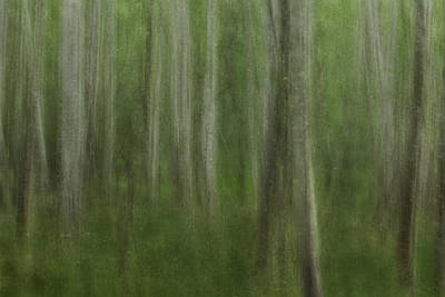 Photograph - Aspen Grove by Jacqui Boonstra