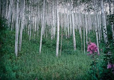 Photograph - Aspen Grove by Rod Kaye