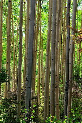 Photograph - Aspen Grove by Ron Cline