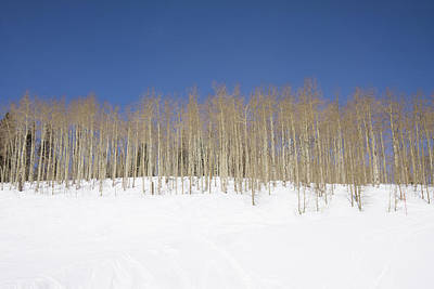 Photograph - Aspen Grove by Sean Allen