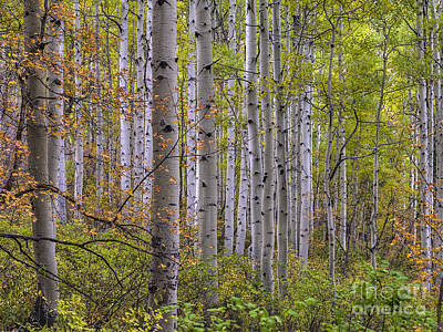 Photograph - Aspen Grove by Spencer Baugh