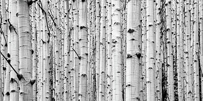 Photograph - Aspen Grove by Stephen Holst